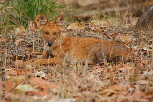Indian wild dog is resting in the nature habitat, very rare