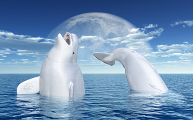 Beluga whales in front of the moon