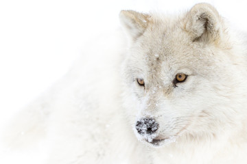 Arctic wolf closeup in winter