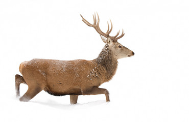 Red deer isolated on a white background walking through a snow covered field in winter