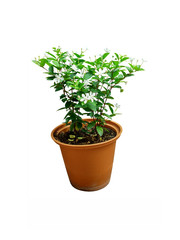 flower in pot isolated