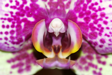 Macro di un orchidea