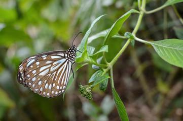 Liuchiou blue spotted milkweed butterfly, scientific name Radena similis similis