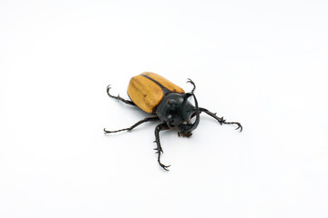 yellow-fivehorned beetle isolated on white