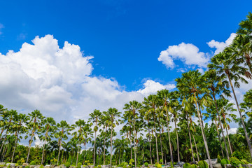 Many of Palm trees,coconut trees against blue sky