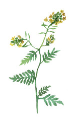 Yellow flowers. Watercolor hand drawn illustration isolated on white background.