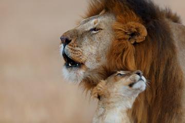 Wall Mural - Roaring Rongai Lion with young Lioness in Masai Mara, Kenya