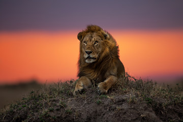 Lion Earless, son of lion Notch, on a termite hill at sunset in Masai Mara, Kenya Wall mural
