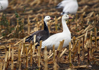 Color morphs of snow geese