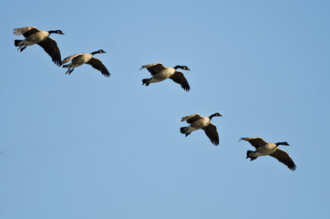 Five Canada Geese Coming in for a Landing