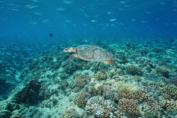 A hawksbill sea turtle underwater, Eretmochelys imbricata, with fish above a coral reef, Pacific ocean, Tuamotu, French Polynesia