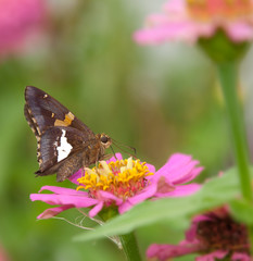Silver-spotted Skipper butterfly feeding on pink Zinnia