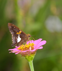 Silver-spotted Skipper butterfly feeding on tiny pink Zinnia