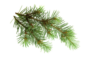Branches of a fir-tree isolated on white background without shad