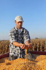 Corn harvest, farmer at trailer holding and pouring heap of seed, agriculture