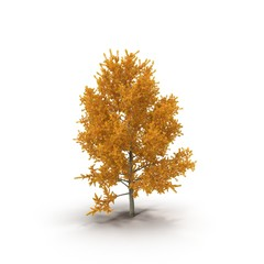 Yellow poplar isolated on a white. 3D illustration