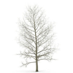Old poplar tree without leaves. Isolated over white. 3D illustration