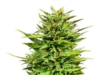 Marijuana bud isolated on white background