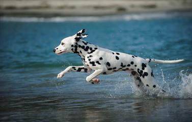 Young Dalmatian dog running through the ocean water