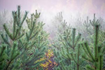 młode drzewka sosnowe we mgle