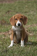 Adorable puppy sitting alert in green grass.