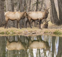 Bull Session - Several bull elk congregate together by the  wapiti watering hole.