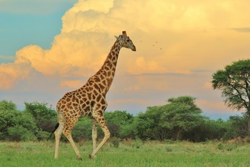 Giraffe Bull - African Wildlife Background - Into the Storm