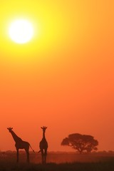 Giraffe - African Wildlife Background - Sunset Bliss and Tranquility