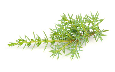 Juniper Branches Isolated on White Background