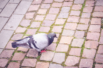 Pidgeon walking on paved road