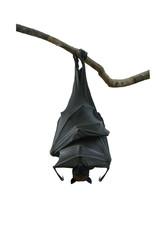 Bat hanging on white background