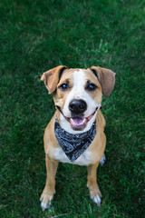 Happy dog in bandana looking up