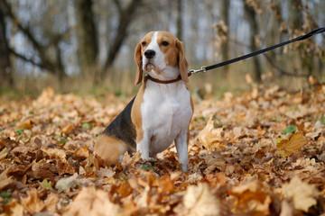 Портрет собаки породы бигль на прогулке в осеннем лесу с желтой листвой