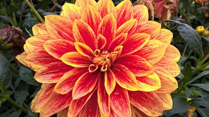 Wunderschöne rot gelbe Dahllie im sommerlichen Garten mit Regentropfen