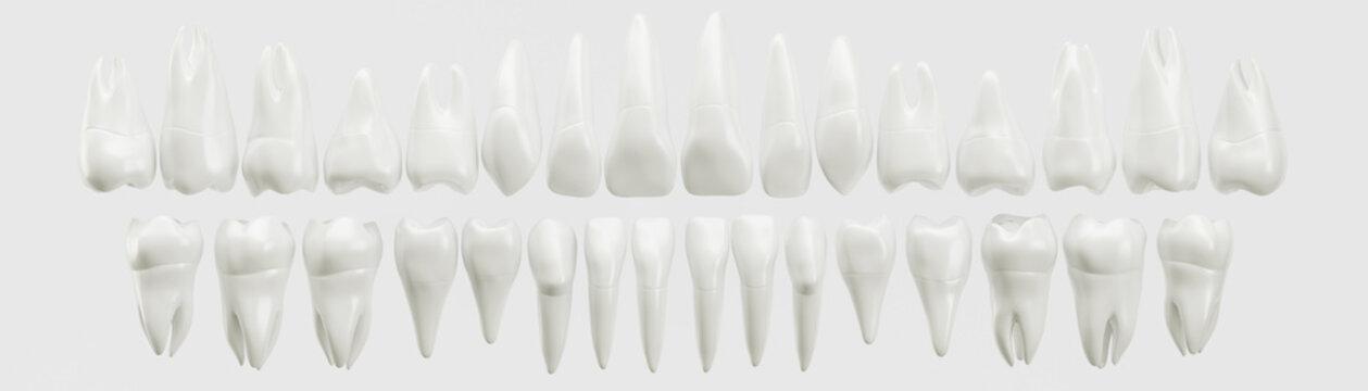 Healthy 32 human teeth - 3d rendering