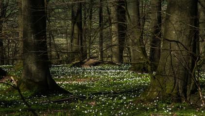 Vitsippor i en skogsglänta av bokskog