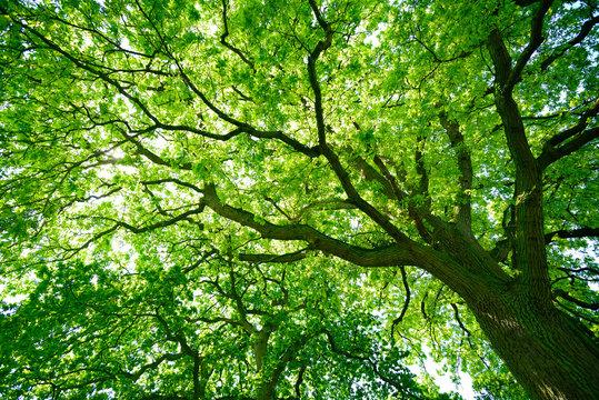 Blick in die grüne Baumkrone einer alten Eiche