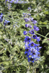 Tall Purple Flowers