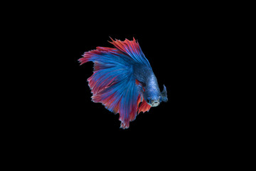 Siam Fighting Fish on black background.