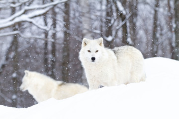 Arctic wolves hunting in the winter snow