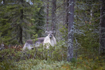 Reindeer in the forest.