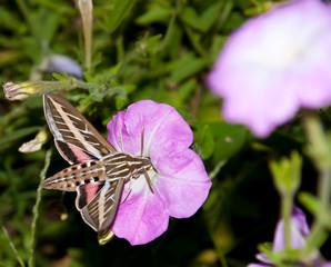 White-Lined Sphinx Moth feeding on a Petunia flower