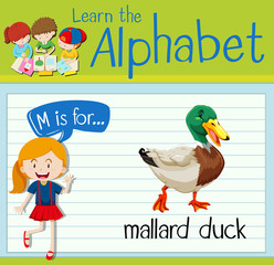 Flashcard letter M is for mallard duck