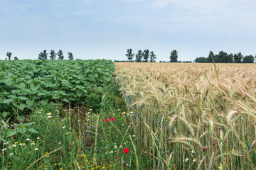 Two different cultures, wheat and sunflowers, same hope for the