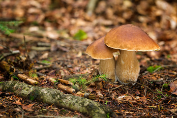 Edible mushrooms Boletus edulis