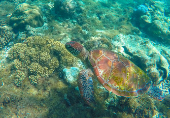 Lovely sea turtle closeup. Green turtle swimming in coral reef.
