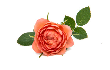 beautiful rosette isolated