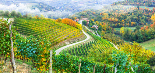 Golden vineyards of Piemonte. Italy