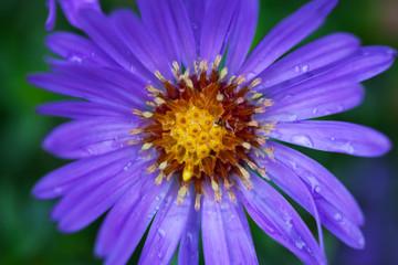 Purple flower.