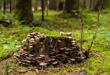 Viele Pilze die auf einem Baumstumpf wachsen